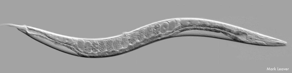 Caenorhabditis elegans mark