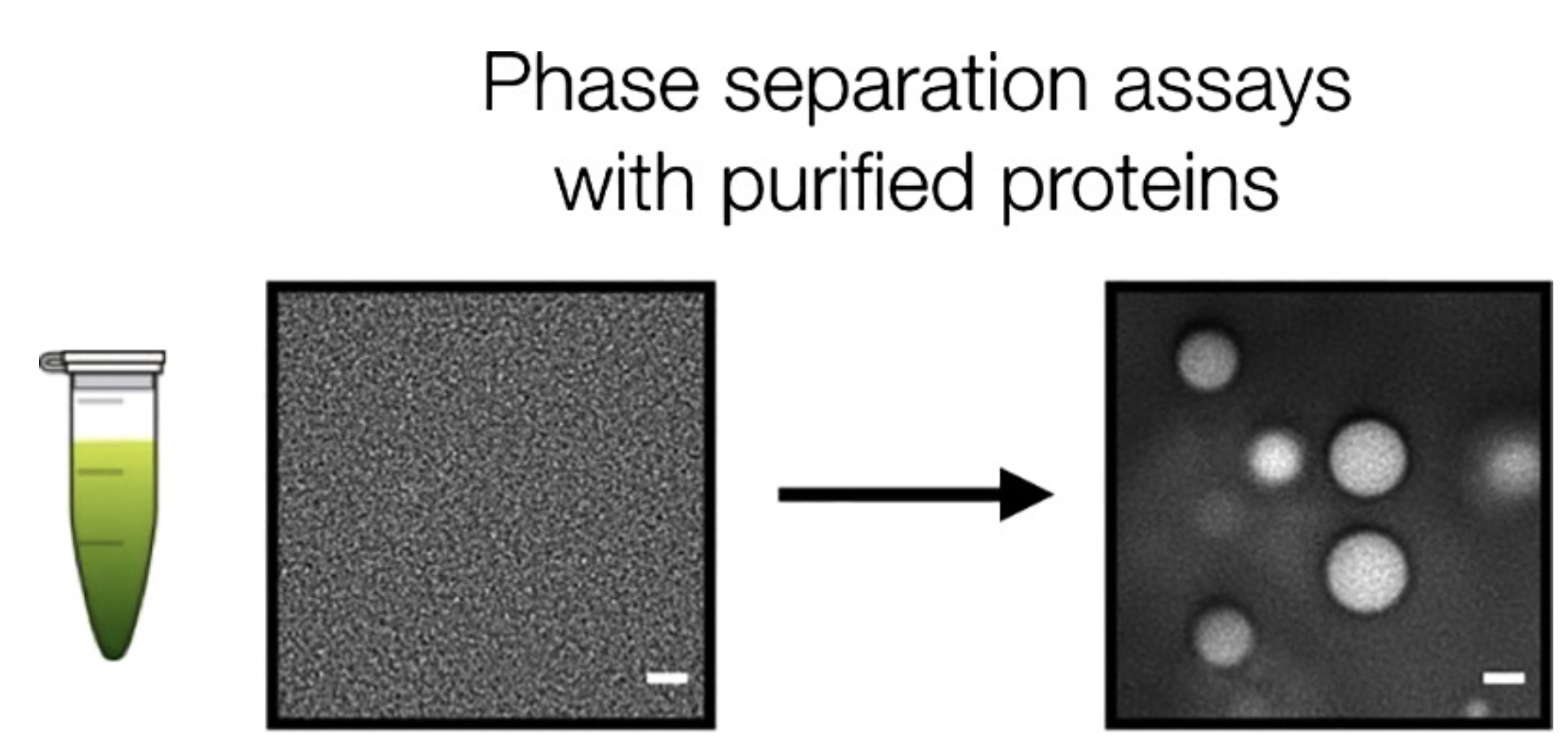Hyman Lab Max Planck Institute Of Molecular Cell Biology Genetics Cellular Resources Check Out Our New Users Guide For Phase Separation Assays With Purified Proteins